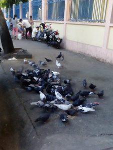 学校の近くの鳩